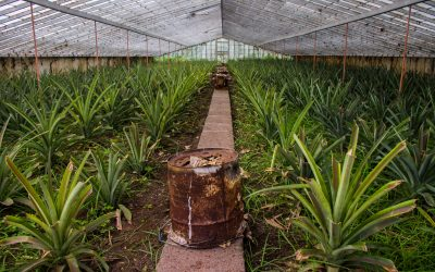 Pineapple plantation in the Azores